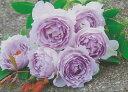 ルシファー(大苗)7号鉢植え バラ苗 四季咲き中輪房咲き系(フロリバンダーローズ) 河本バラ園 Kawamoto Brand Roses ヘブンシリ…