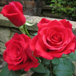 ミカエル(大苗予約)7号鉢植え バラ苗 四季咲き中輪房咲き系(フロリバンダローズ)スプレー咲き 河本バラ園 Kawamoto Brand Roses ヘブンシリーズ