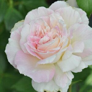 ミルフィーユ(大苗予約)7号鉢植え  四季咲き中輪房咲き系(フロリバンダローズ)スプレー咲き 河本バラ園 Kawamoto Brand Roses バラ苗