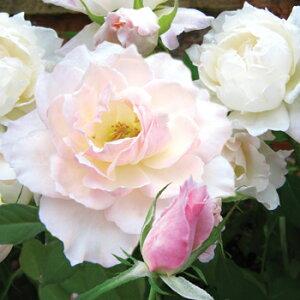 プリンセス・テンコー(大苗予約)7号鉢植え  四季咲き中輪房咲き系(フロリバンダローズ)スプレー咲き 河本バラ園 Kawamoto Brand Roses バラ苗