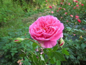 ラファエル(大苗予約)7号鉢植え バラ苗  四季咲き中輪房咲き系(フロリバンダローズ)スプレー咲き 河本バラ園 Kawamoto Brand Roses ヘブンシリーズ