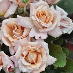 ローズ・ドラジェ(大苗予約)7号鉢植え バラ苗 四季咲き大輪系(ハイブリッドティーローズ) 河本バラ園 Kawamoto Brand Roses ヘブンシリーズ