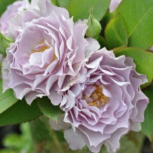 清流(大苗)7号鉢植え バラ苗 四季咲き中輪房咲き系(フロリバンダローズ) 河本バラ園 Kawamoto Brand Roses