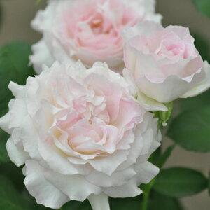 セラフィム(新苗)6号鉢植え バラ苗 四季咲き大輪系(ハイブリッドティーローズ) 河本バラ園 Kawamoto Brand Roses ヘブンシリーズ