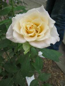 ウリエル(大苗予約)7号鉢植え バラ苗 四季咲き中輪房咲き系(フロリバンダローズ)スプレー咲き 河本バラ園 Kawamoto Brand Roses ヘブンシリーズ