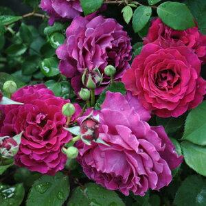 ヴァグレット(大苗予約) 7号鉢植え バラ苗 四季咲き中輪房咲き系(フロリバンダローズ)スプレー咲き 河本バラ園 Kawamoto Brand Roses