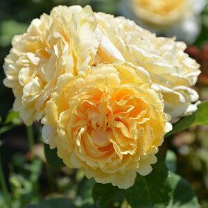 ベッラ・ディ・トーディ(大苗予約)7号鉢植え 四季咲き大輪系 バラ苗 ローズ・バルニ イタリア 木立性