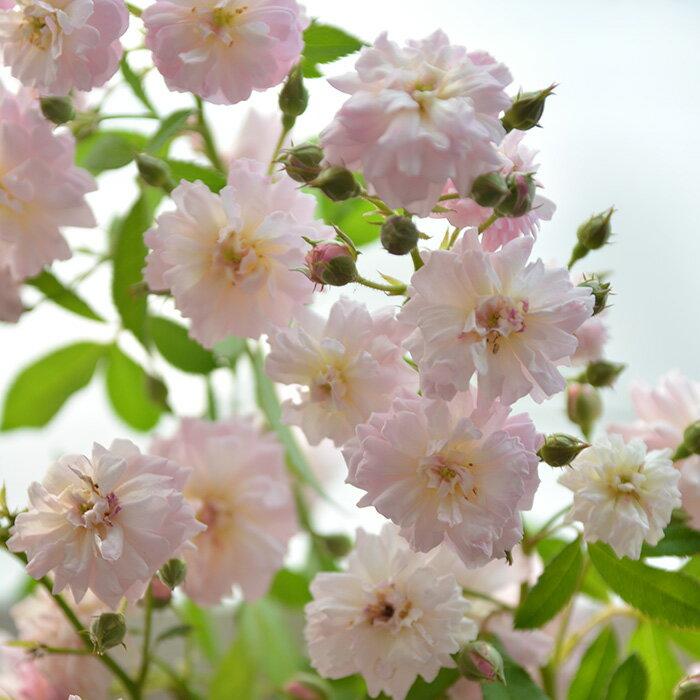 ブリーズ・パルファン(大苗予約)7号鉢植え 四季咲き大輪系 バラ苗 ローズ・バルニ イタリア つる性