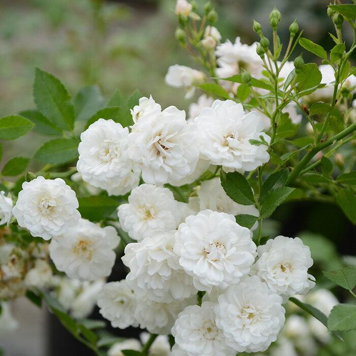 コメータ(大苗予約)7号鉢植え 四季咲き小輪系 バラ苗 ローズ・バルニ イタリア シュラブ樹形
