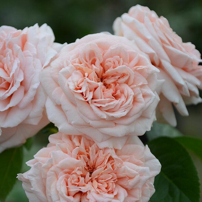 スティーレ・オットチェント(大苗予約)7号鉢植え 四季咲き大輪系 バラ苗 ローズ・バルニ イタリア 木立性