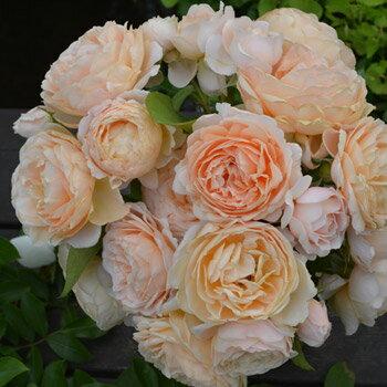 アンナ・フェンディ(大苗予約)7号鉢植え 四季咲き バラ苗 ローズ・バルニ イタリア
