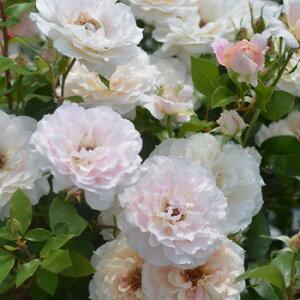 ミコル・フォンターナ(大苗予約)7号鉢植え 四季咲き バラ苗 ローズ・バルニ イタリア