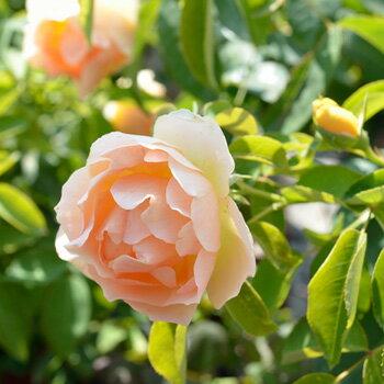パオロ・ペイローネ・ジャルディニエレ(大苗予約)7号鉢植え 四季咲き バラ苗 ローズ・バルニ イタリア