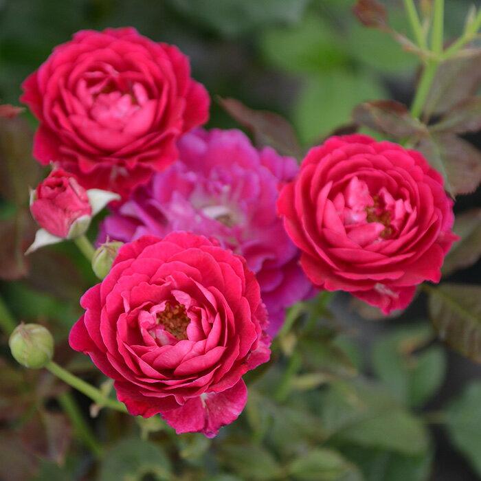 セント・オブ・ウーマン(大苗予約)7号鉢植え 四季咲き中輪 バラ苗 ローズ・バルニ イタリア フロリバンダローズ