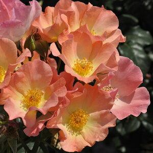 トラモント・エスティーヴォ(大苗予約)7号鉢植え 四季咲き小中輪 バラ苗 ローズ・バルニ イタリア フロリバンダローズ