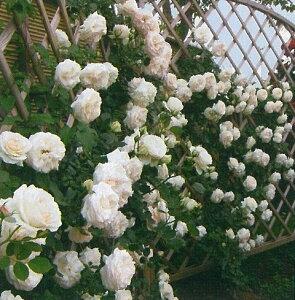 ブラン・ピエール・ドゥ ロンサール(新苗)6号鉢植え つるバラ バラ苗