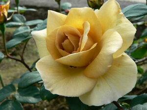 バタースコッチ(大苗予約)7号鉢植え つるバラ 四季咲き バラ苗