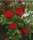 つるヘルツ・アス(大苗予約)7号鉢植え つるバラ バラ苗