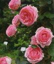 つるヒストリー(大苗)7号鉢植え つるバラ ピンク  バラ苗