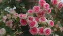 つるミミエデン(大苗)7号鉢植え つるバラ バラ苗