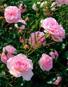 つるピンクアイスバーグ(大苗予約)7号鉢植え  つるバラ ピンク花 バラ苗