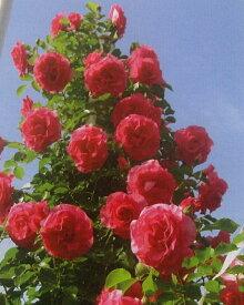つるローズうらら(大苗予約)7号鉢植え つるバラ  バラ苗