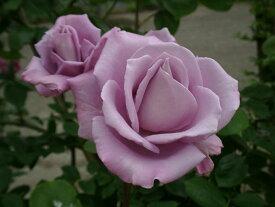つるブルームーン(大苗予約)7号鉢植え つるバラ バラ苗