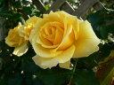 つるゴールドバニー(大苗)7号鉢植え つるバラ バラ苗
