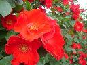 つるサラバンド(大苗予約)7号鉢植え つるバラ バラ苗