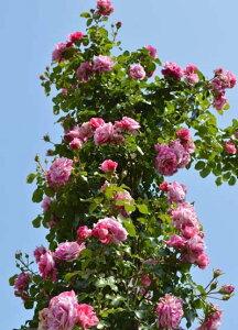 フランボワーズ・バニーユ(大苗予約)7号鉢植え つるバラ バラ苗