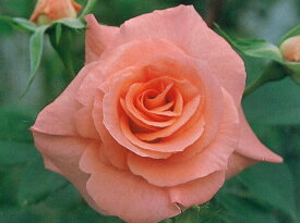 リバプールエコー(大苗予約)7号鉢植え つるバラ バラ苗