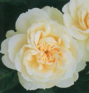 モン・ジャルダン・エ・マ・メゾン(大苗) つるバラ バラ苗