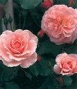 ピンクストリーム(大苗)7号鉢植え つるバラ バラ苗