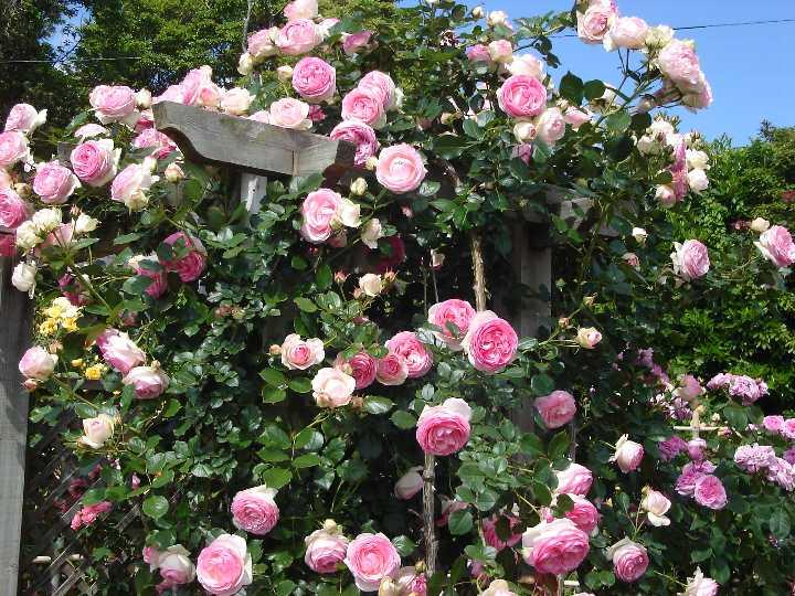 ピエール・ドゥ・ロンサール(大苗)7号鉢植え つるバラ バラ苗 殿堂入り