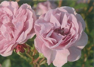 レイニーブルー(新苗)6号鉢植え つるバラ  バラ苗