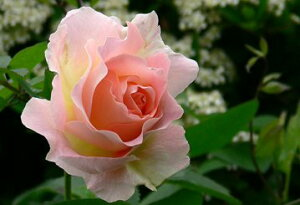 ロココ(大苗)7号鉢植え つるバラ バラ苗