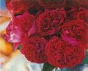 ルージュ・ピエール・ドゥ・ロンサール(大苗)7号鉢植え つるバラ バラ苗