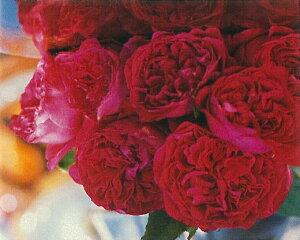 ルージュ・ピエール・ドゥ・ロンサール(新苗)6号鉢植え つるバラ バラ苗