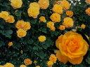 サハラ'98(大苗)7号鉢植え つるバラ バラ苗