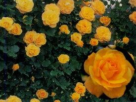 サハラ'98(大苗予約)7号鉢植え つるバラ バラ苗