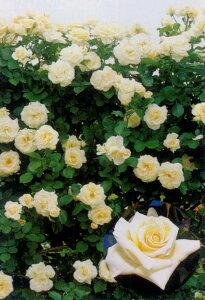 シュネーバルツァー(大苗予約)7号鉢植え つるバラ バラ苗