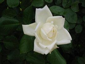 新雪(大苗予約)7号鉢植え つるバラ バラ苗