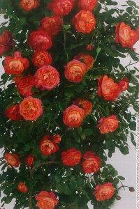 ソレイユ・ロマンティカ(新苗)6号鉢植え つるバラ  バラ苗