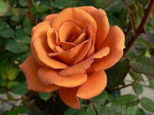 つるテディベアー(新苗)6号鉢植え つるバラ バラ苗
