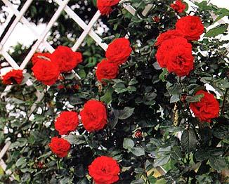 ウルメール・ムーンスター(大苗予約)7号鉢植え つるバラ バラ苗