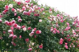 パレード(大苗予約)7号鉢植え つるバラ バラ苗