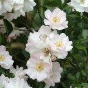 伽羅奢(がらしゃ)(大苗予約)7号鉢植え つるバラ バラ苗