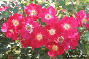 キャンディア・メイディランド(大苗予約)7号鉢植え シュラブローズ バラ苗