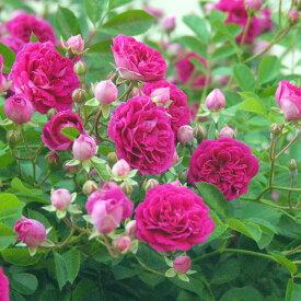 プティ・ルージュ(大苗予約)7号鉢植え 四季咲き つるばら 小輪 バラ苗