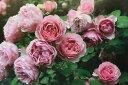 アントニオ・ガウディ(大苗予約)7号鉢植え つるバラ バラ苗